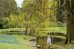 Nerotal-Anlagen, Trauerweide am Teich (Nerotal Park, weeping willow at the pond (HEN-Magonza) Tags: wiesbaden nerotalanlagen nerotalpark hessen hesse deutschland germany trauerweide weepingwillow salixbabylonica