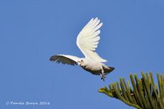 Little Corella (Blue Moon68) Tags: little corella augusta westernaustralia short beak nests hollows