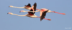 Good friends! (Amro Afifi) Tags: fly flamingo funny flying bright sun sky amroafifi