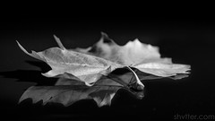 Autumn (#Weybridge Photographer) Tags: studio adobe lightroom canon eos dslr slr 40d low key mkii autumn leaf leaves reflect reflecting reflection