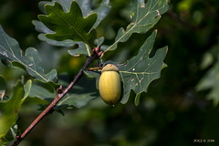 Leipzig, Gohlis-Nord, Eichel (joergpeterjunk) Tags: leipzig gohlisnord outdoor pflanze busch baum eichenbaum eichel canoneos7dmarkii tamron16300mmf3563diiivcpzdmacro laub