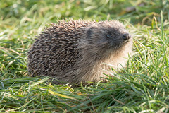 Hedgehog (Andrew_Leggett) Tags: hedgehog erinaceuseuropaeus mammal autumn sun sunshine afternoon sniff sense scent ground grass woodland floor rspboldmoor andrewleggett