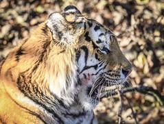 Camouflaged! (ilkleymoorbahtat) Tags: yorkshirewildlifepark tiger animal amurtiger zoo captive