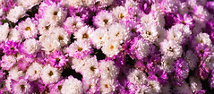 Sea of flowers (marcmayer) Tags: 50mm nikkor f18 d5200 nikon sea blte blume flower