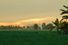 Golden Sunset, Buleleng Indonesia (AdamCohn) Tags: adamcohn bali buleleng indonesia agriculture clouds goldenhour goldenlight rice ricecrop ricepaddies ricepaddy sunset wwwadamcohncom