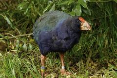 NZ takahe at Zealandia. (ROGERBEE.) Tags: wellington newzealand newzealandbirds birds zealandia karori