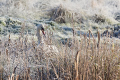 Camouflage (KevPBur) Tags: canon650d canonkissx6i canonrebelt4i canon70200mmf28lisiiusm canonextenderef14xiii cygnusolor dintonpastures muteswan cold frosty morning neck orange swan white canon650dcanonkissx6icanonrebelt4i