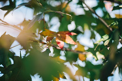 1st December (w a n d e r e r ) Tags: d610 nikon 50f14 50mm f14d liquidambar tree catania autumn winter bokeh dof red colors nature