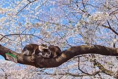 Ueno Park / Tokyo, Japan (yameme) Tags: travel flowers nature animal japan cat canon eos tokyo ueno  sakura cherryblossoms    uenopark     24105mmlis 5dmarkii 5d2