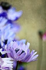 Anemone (tanakawho) Tags: plant flower texture nature spring dof bokeh petal anemone layer mauve postproduction treatment tanakawho skeletalmess