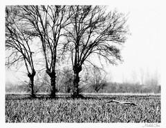 Campagna B&W (Michele -) Tags: tree nature fields bentivoglio larizza