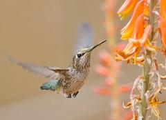 Speed... (ragtops2000) Tags: flowers winter arizona home sunshine backyard nikon colorful hummingbird fast 70200 sunbird d300 mygearandme mygearandmepremium mygearandmebronze mygearandmesilver mygearandmegold mygearandmeplatinum mygearandmediamond rememberthatmomentlevel4 rememberthatmomentlevel1 rememberthatmomentlevel2 rememberthatmomentlevel3 rememberthatmomentlevel9 rememberthatmomentlevel5 rememberthatmomentlevel6 rememberthatmomentlevel10