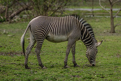 Zebra (AWCPhoto) Tags: nyc newyorkcity ny newyork animal animals zoo bronx stripes stripe zebra bronxzoo captivity wcs zebrastripes animalsincaptivity wildlifeconservationsociety