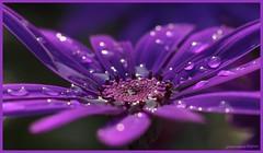 18apr12: april....doet wat 't wil.... (guus timpers) Tags: blue flower macro rain drops blauw purple raindrops tuin regen paars bloem sfeer glittering druppels glinstering regendruppels macrofoto sfeervol blooem