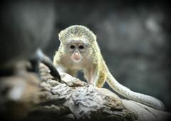 Oh baby..the cute stare! (jjs08) Tags: baby minnesota animal zoo  stare 2012 jjs08 jennifershieldsphotography