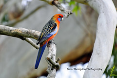 Crimson Rosella (Dion1975) Tags: colour tree bird parrot rosella
