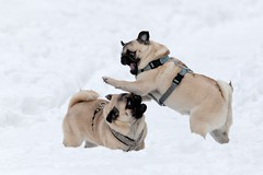 I said NO! (TheOtherPerspective78) Tags: schnee dog snow playing cute canon puppy fight funny play pug running run hund lustig fighting hunde toben laufen spielen mops carlino welpe welpen tollen ef100400l theotherperspective78