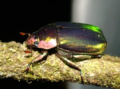 P5072015 (margarethe brummermann) Tags: costarica guanacaste scarabaeidae chrysina may2013