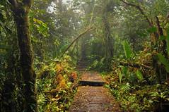 woodpath (definitelyjess) Tags: wood trees green misty forest moss rainforest costarica path magic ferns monteverdecloudforest
