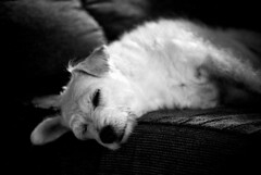 asleep? (gnhowlett47) Tags: blackandwhite film dogs face animals portraits pentax animalplanet petie
