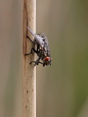 Flesh Fly (chaz jackson) Tags: nature insects flies sarcophagacarnaria fleshfly