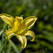 """Daylily... • <a style=""""font-size:0.8em;"""" href=""""http://www.flickr.com/photos/41711332@N00/8796516591/"""" target=""""_blank"""">View on Flickr</a>"""