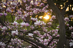 Magnolia Sunrise (80sgirlart) Tags: morning pink flowers sunset sunlight toronto tree nature floral beautiful sunrise garden season evening petals spring flora colorful branch highpark blossoms may fresh bloom april sunburst blossoming sunlit delicate sunrays magnolias springtime blooming sunflare magnoliatree blossomtree floweringtree magnoliablossom magnoliaflower blossombackground