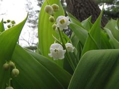 Anglų lietuvių žodynas. Žodis lily-of-the-valley tree reiškia lelija-of-the-slėnyje medis lietuviškai.