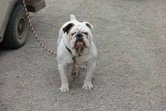 (nevada4949) Tags: tank bulldog englishbulldog