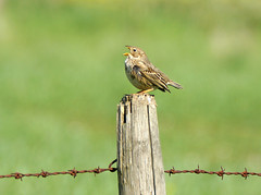 Corn Bunting singing... (SteveJM2009) Tags: uk light sun detail fence spring focus dof singing post song beak may perch perched wiltshire salisburyplain plumage stevemaskell upavon emberizacalandra cornbunting wilts 2013