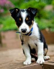 Ross (eight weeks old) (duncansalchemist) Tags: bordercolliepuppy nikkor35mmf18g