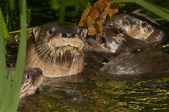 River otter family (debbie_dicarlo) Tags: otters riverotter cvnp otterfamily riverotterfamily cvnpriverotters nationalparkriverotters ohioriverotters