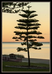 Redcliffe Norfolk Pine at Dusk-1= (Sheba_Also) Tags: pine dusk norfolk redcliffe