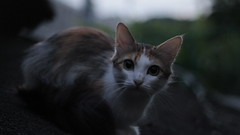 curious cat #2 (Alice Luk.) Tags: cute cat canon 50mm furry friend dof bokeh kitty kawaii curious f18 169 kot kisa curiousity 600d canon600d