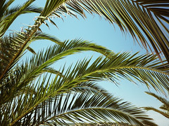 palm leaves (daisychainok) Tags: summer portugal leaves sunshine bluesky palm palmtree algarve alvor