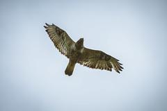 Rough-legged Hawk (Bjrn Henrik Orm) Tags: norway norge nikon hawk sigma 70200 converter 2x roughlegged nikond600 fjellvk