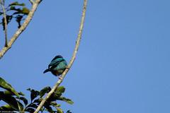 "Saí-Azul, Parque Estadual Acaraí • <a style=""font-size:0.8em;"" href=""http://www.flickr.com/photos/39546249@N07/9377046471/"" target=""_blank"">View on Flickr</a>"