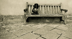 Just a Dog on a Bench (Photo Gal 2009) Tags: wood blackandwhite dog monochrome wall bench sitting otis timber dirty sit cocker cockerspaniel slabs dirtydog blackandwhitedog wetdog shaggydog flagstones blueroan woodenbench englishcockerspaniel patioslabs sitdog blueroancocker timberbench englishshowtypecocker