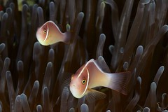 Amphiprion perideraion (Ben Naden) Tags: indonesia anemone papua anemonefish rajaampat