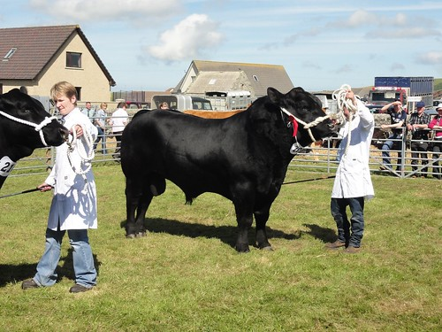 Aberdeen Angus bull at Dounby Show, Orkney