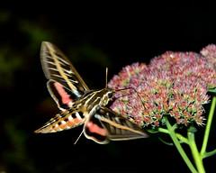 Midnight Sweet Snack (mbryan777) Tags: flower macro sphinx night moth nikkor 28300mm proboscis hawkmoth whitelined hyles lineata nikond800 mbryan777 d8e1108cx8x10 michaelbryanphotography