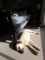 My fur babies sunbathing (Rayya The Vet) Tags: dog pets cat persian feline vet canine sunbathingcat sunbathingdog whippetcross
