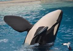 Keet (NamikaOrcas) Tags: show california san diego killer whale orca seaworld orkid californie keet spectacle cetacean ulises orque ctac paulard