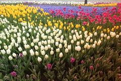 IMG_3811 (gkimirti) Tags: flower tulip 2015 emirgan laleler