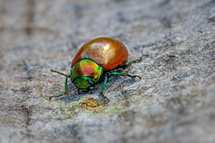 Knotgrass Leaf Beetle (Derek.P.) Tags: insect insects invertebrate invertebrates pottericcarr potteric nature naturalworld chrysomelidae leafbeetle leafbeetles beetle beetles coleoptera knotgrassleafbeetle knotgrass chrysolinapolita käfer coléoptères coleotteri escarabajos besouros 甲虫 甲蟲 カブトムシ жуки insekten insectes insetti insectos insetos 昆虫 昆蟲 насекомое tamronspaf90mmf28di macro