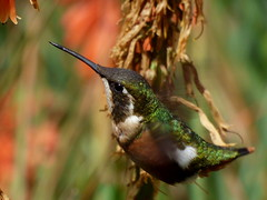 Rumbito buchiblanco (Chaetocercus mulsant) (andresdelgado88) Tags: