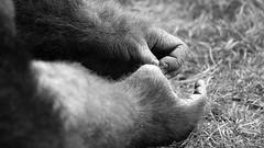 Gorille (FranSight) Tags: wild blackandwhite bw white black france animal canon de eos zoo monkey photo flickr noir image gorilla picture fran nb 100mm des mai plaines sortie animaux et lorraine fr primate parc blanc beau nord 57 est journe facebook singe moselle zoologique sauvage faune gorille 2015 amneville animalier amnville zoodamnville espece photographieanimalire eos70d fransight franimage