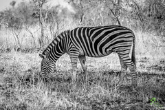 Black and white (.:shk:.) Tags: africa uk travel vacation holiday nature animals portraits landscape southafrica natural candid wildlife events streetphotography free humour gb shoots krugernationalpark doha qatar gossip limpopo zebras alkhor pixelperfectphotography pxlpphoto pxlprfct