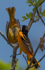 Oriole Love...Checking Her Out (Bonnie Ott) Tags: oriole northernoriole baltimoreoriole mating oriolesmating birdsmating cloacalkiss sex bonniecoatesott