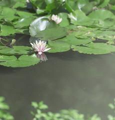 荷。初夏 (nuo_zhen) Tags: summer flower green water garden nikon waterlily outdoor sunny d750 70200mm